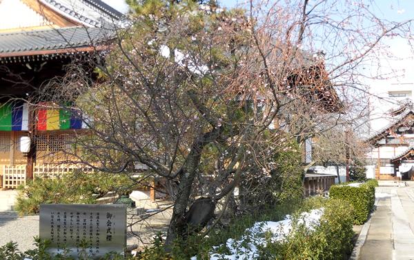 妙蓮寺・御会式桜